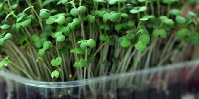 Growing microgreens at home-Easy steps shared by a 17 year old !